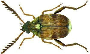 Kumbang Biji