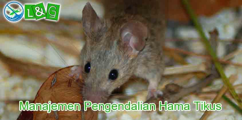 Manajemen Pengendalian Hama Tikus