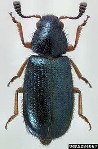 kumbang kopra