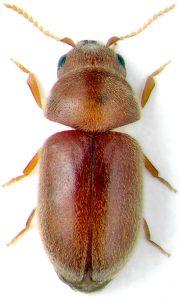 kumbang rokok