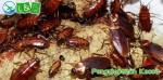 pengumpanan kecoa