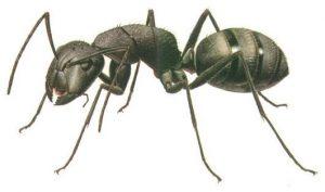 Semut Hitam rumah