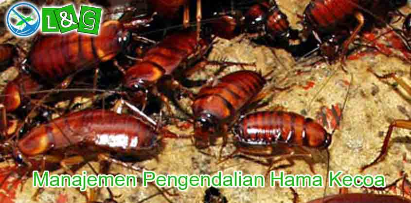 Manajemen Pengendalian Hama Kecoa