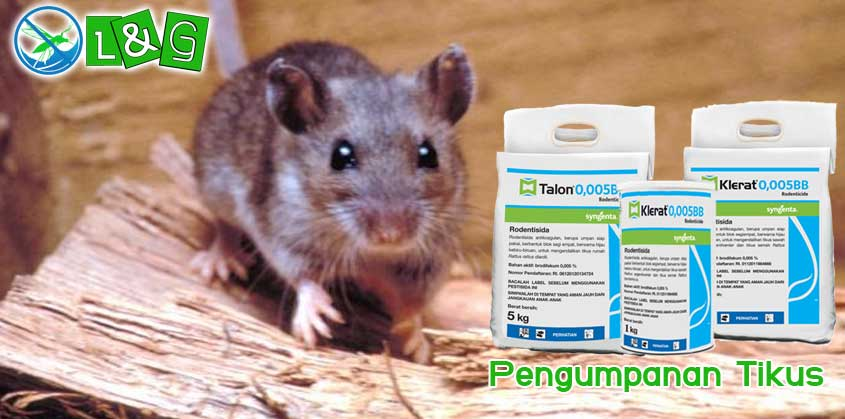 Pengumpanan Tikus
